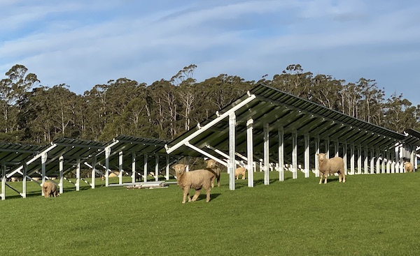 Sheep grazing among the solar arrays at The Vale